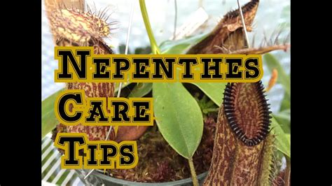 Nepenthes Basics: How to Grow Nepenthes Carnivorous